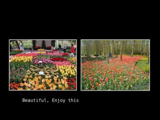 Tulips of Holland.ppt